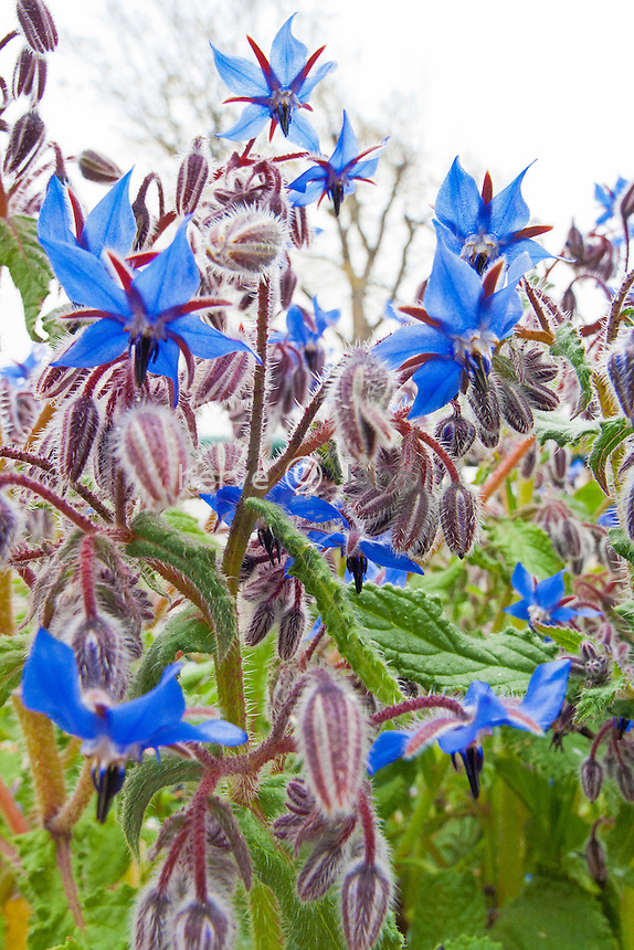 France, Alpes-Maritimes (06), bourrache (Borago officinalis) // Borage, Borago officinalis