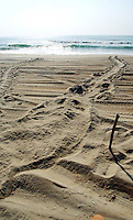 News///Turtle Tracks///The tell-tell signs of a turtle coming on shore to bury her eggs and return to the sea. PHOTO BY CHUCK BECKLEY
