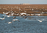 Snow Geese on a landing approach among the Snows already on the ground