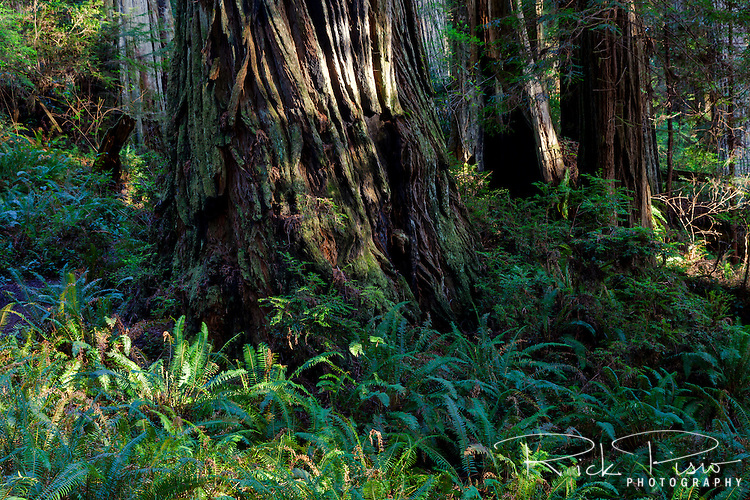 Ferns and redwood tree at Prairie Creek Redwoods near Orick, California.