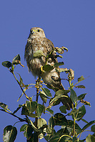 Cooper's Hawk perched at the top of a tree