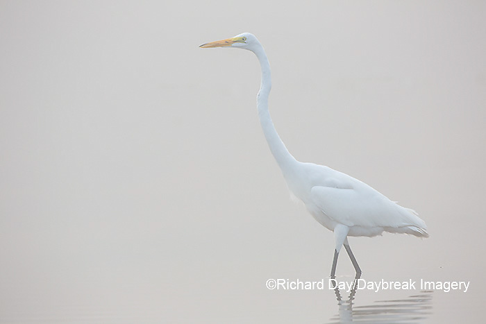 00688-02312 Great Egret (Ardea alba) in wetland in fog, Marion Co., IL