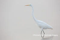 00688-02312 Great Egret (Ardea alba) in wetland in fog, Marion Co., IL
