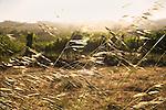 California Brome, a native perennial grass, blow in the wind in a vineyard.
