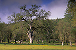 Oak trees, green grass, and wildflowers in spring, San Antonio Valley, Santa Clara County, California