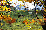 Farm Horses Grazing in the Afternoon Sun during Fall Season in Walpole, New Hampshire USA
