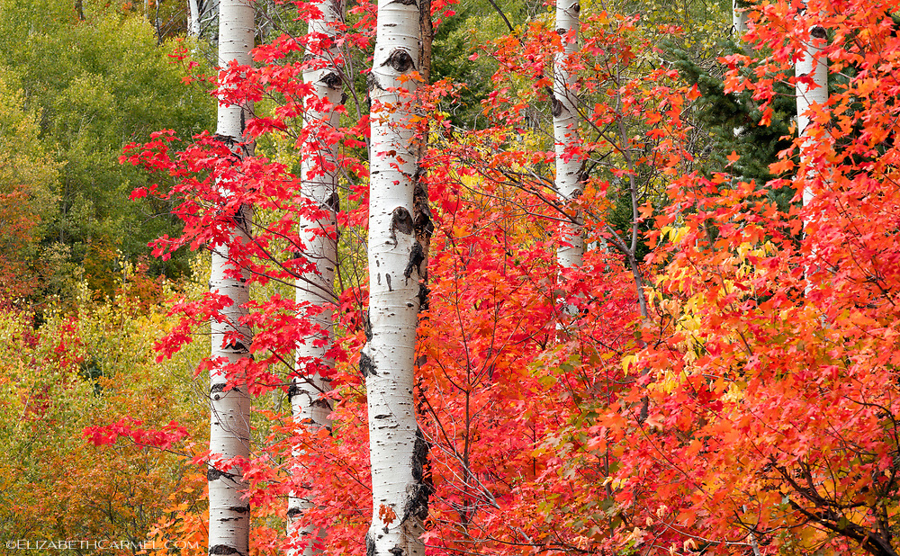 Rocky Mountain Maples