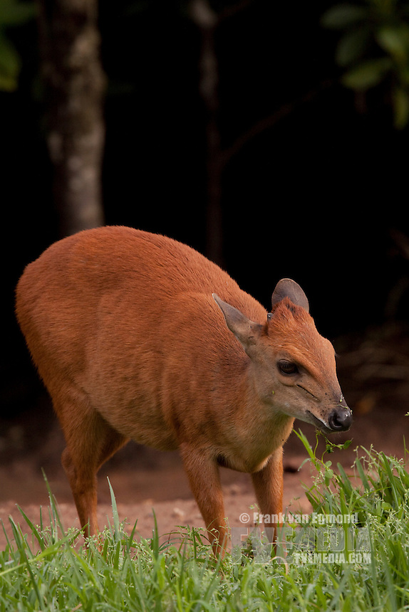 Red Forest Duiker (Cephalophus Natalensis)..Also named Natal Duiker..Along the edge of a mangrove swamp..June 2009. Winter..Umlalazi Nature Reserve, Kwazulu-Natal, South Africa.