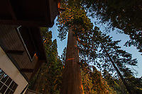 The Bullen Tree next to Chalet Simone, seen at sunset, looking up.