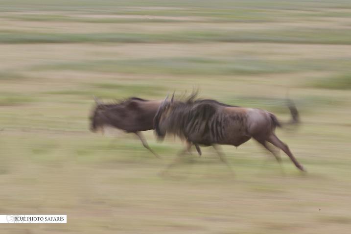Wildebeest motion blur