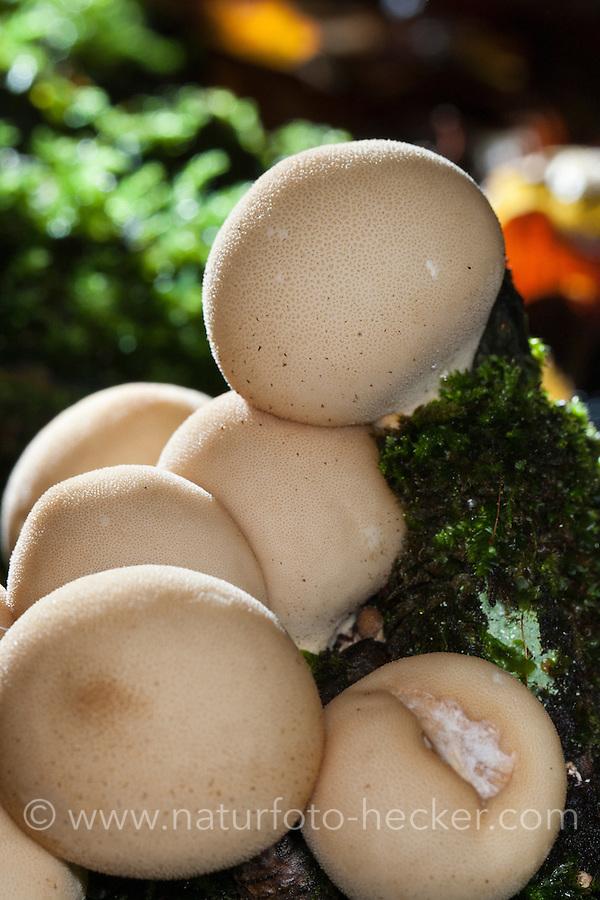 Birnen-Stäubling, Birnenstäubling, Lycoperdon pyriforme, Morganella pyriformis, Pear-shaped puffball, Stump puffball