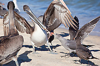 Brown Pellican fighting Heerman's Gull, Sea of Cortez, Baja, Mexico