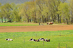 Holstein cows with Amishman disking with horses.