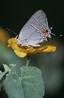 Gray Hairstreak, Strymon melinus, male on Bastardia (Bastardia viscosa) , Starr County, Rio Grande Valley, Texas, USA, May 2002
