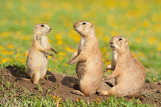 Black-tailed Prairie Dogs (Cynomys ludovicianus), family group of three )2 adults, one young) outside their burrow, Wichita Mountains NWR, Oklahoma, USA