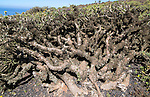Euphorbia plants growing on lava flow, Malpais de Corona, Lanzarote, Canary Islands, Spain