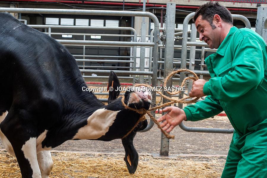 Un ganadero trata de sujetar a una de sus vacas en el mercado de ganados de Torrelavega (Cantabria).