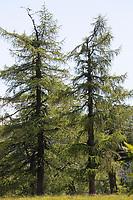 Lärche, Europäische Lärche, im Bergwald, Larix decidua, European Larch, Larch, Le Mélèze d'Europe, Mélèze commun,  Le Mélèze