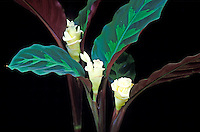 Three white clusters of rose calathea (Calathea warscewiczi) flowers amidst forest-green and purple-brown leaves with scalloped edges