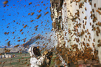 Finally freed, millions of bees fly around in all directions for a cleansing flight. To facilitate the task, one of Brad Campbell's Mexican employees joyfully sends out smoke.