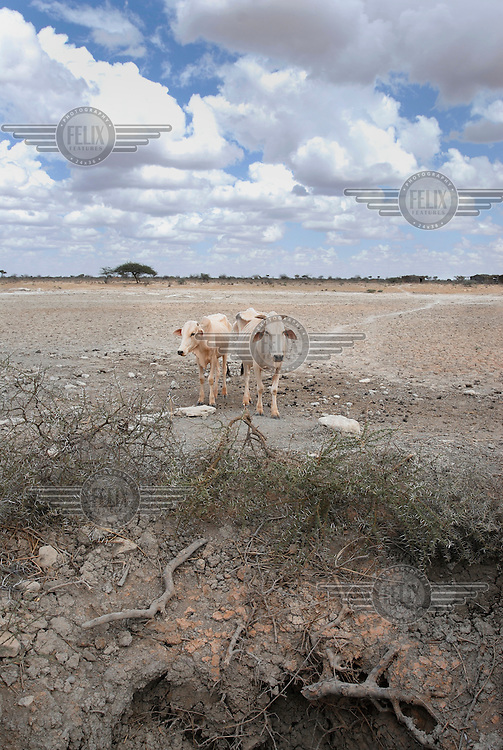 Two cows stand in the desertified landscape next to a dried up well in a period of drought.  The region has suffered overgrazing during the drought, and the soil has become unstable. A severe drought has extended across East Africa after the rainy season expected in October 2005 failed to arrive. Most rural dwellers in the southernmost area of the country rely on two rainy seasons and two dry seasons per year....