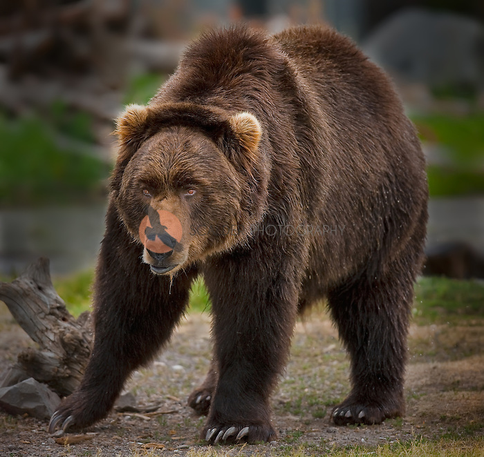 Large Brown Grizzly Bear walking