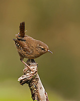 Male Pacific wren atop one of his favorite perches as he patrols his breeding territory.<br />