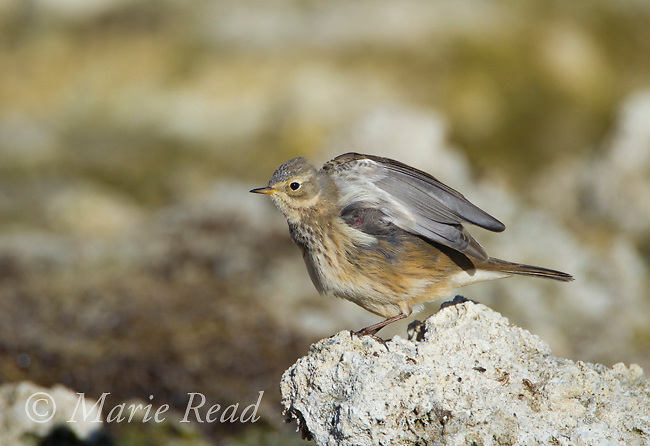 American Pipit (Anthus rubescens) perched on low tufa outcrop on the shore of Mono Lake, stretching its wings,  California, USA
