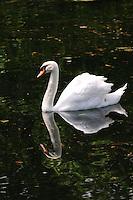 LONDRES-UK-25-05-2013. Cisne en un lago cerca del Palacio de  Buckingham, Londes. Swan in a lake near of the Buckingham Palace, London. Photo: VizzorImage