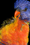 A Rainbow Lorikeet (Psittacidae: Trichoglossus haematodus) preens itself after a bath.  These birds are a common and pugnacious species in suburban gardens. Wild birds are found from the Kimberley area of Western Australia (with an orange collar), eastwards across coastal northern Australia and down the east coast to Victoria. A woodland species, birds may be nomadic, gathering nectar especially from flowers of Eucalyptus trees, which is gathered with a brush-tipped tongue. Brisbane, Queensland, Australia.   //  Lorikeet - Length to 30cm; wingspan to 65cm;  Distribution -  many subspecies throughout the area from indonesia through New Guinea to the south-west Pacific and Australia.  //Eric Lindgren//