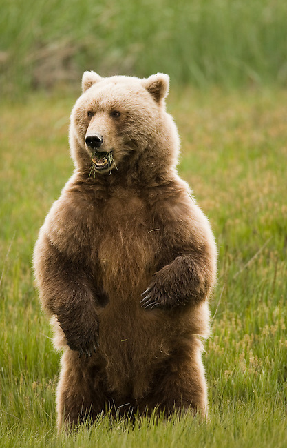 This is a mother brown bear in Lake Clark National Park, Alaska, June 24, 2008.  She stands upright to get a better vantage point of the meadow where she and her cub feed on grass.  There are large male bears in the area and they are a threat to her cub.  Photo by Gus Curtis.
