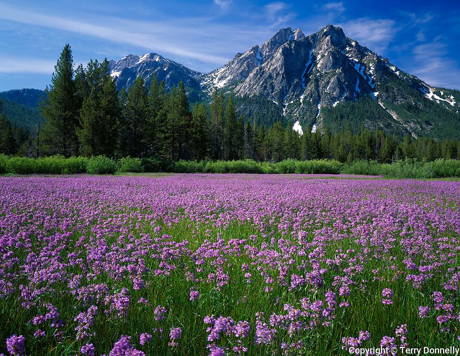 Sawtooth National Recreation Area, Idaho<br /> Meadow of Rydberg's penstemon (Penstemon rydbergii) beneath the peaks of Mt.McGown