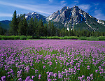 Sawtooth National Recreation Area, Idaho<br /> Meadow of Rydberg's penstemon (Penstemon rydbergii) beneath the peaks of Mt.McGown