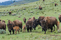 Bison herd (Bison bison).  Yellowstone National Park, Wyoming.  Spring.