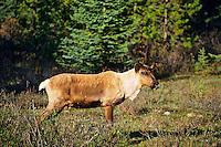 Mountain Caribou or Woodland caribou bull (Rangifer tarandus) Western mountains, North America. June.