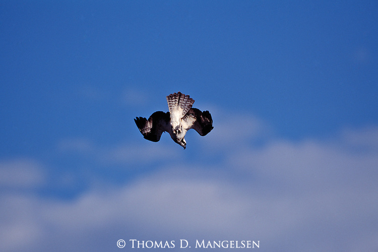 Osprey in a dive.