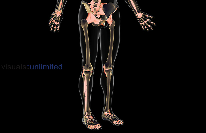 An anterolateral view (right side) of the ligaments of the lower body. The surface anatomy of the body is semi-transparent and tinted gray. Royalty Free