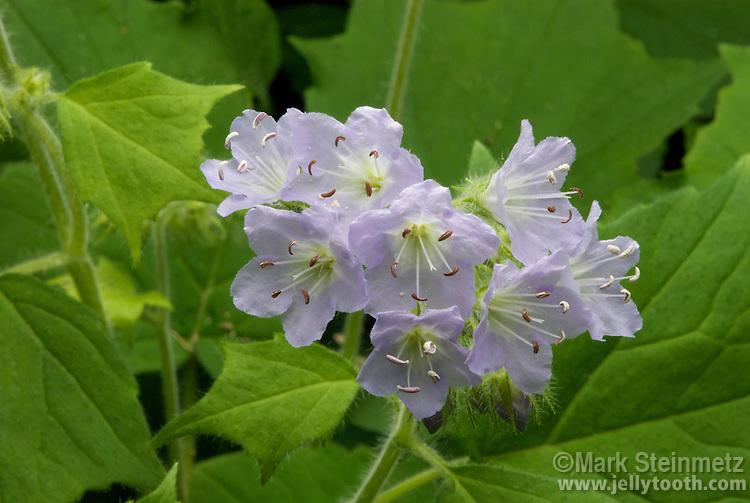 Appendaged Waterleaf (Hydrophyllum appendiculatum). Biennial native woodland wildflower. Franklin, County, Ohio, USA