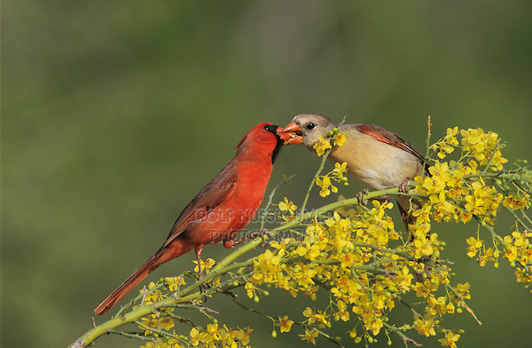 Northern Cardinal, Cardinalis cardinalis, male feeding female on blooming Paloverde (Parkinsonia texana) , Starr County, Rio Grande Valley, Texas, USA