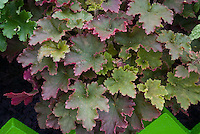 Heuchera 'Red Dress' perennial groundcover for shade, foliage ornamental plant