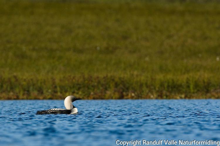 Storlom (Gavia arctica) ---- black-throated loon