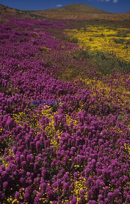 Field of Purple Owls Clover ,Orthocarpus purpurescens,, Antelope Valley, California, USA.