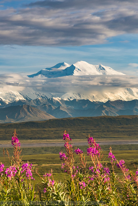 Pink fireweed blossoms in the tundra with North America's tallest peak, Mt Denali in the distance, Denali National Park, Alaska.