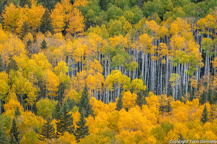 Uncompahgre National Forest, Colorado: Autumn colored forest and aspen