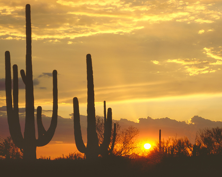 Saguaro cacti silhouetted at sunset during a breaking storm in the West Unit; Saguaro National Park, AZ
