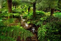 Australian Soft Tree Fern (Dicksonia antarctica) and small stream. Trengwidden Gardens, England, Cornwall