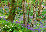Beech Forest with bluebells, Isle of Skye, Scotland