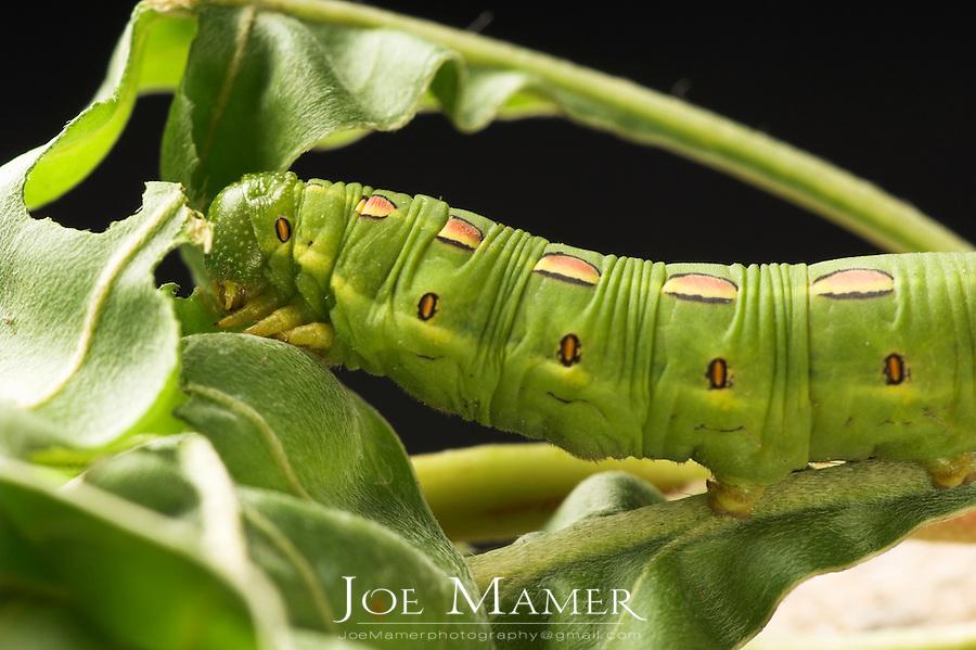 White Lined Sphynx caterpillar (Hyles lineata). Also known as Hawk Moths, Hummingbird Moths, and Sphynx Moths.