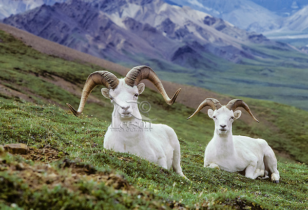 Thinhorn Sheep or Dall sheep rams (Ovis dalli), Alaska.  Late Summer.