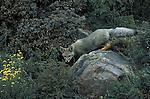 Grey Fox cub about to enter den